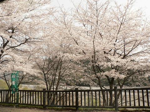 大井川の桜