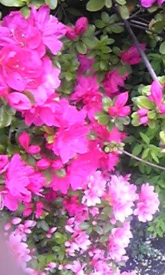 桜の次は『さつき』