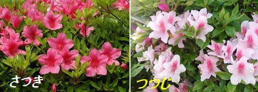 この際ですから、まとめてみますね。 さつきはさつきつつじというつつじの仲間です。 四月中ごろから咲くのがつつじで、五月中ごろ少し遅れて咲くのがさつき。