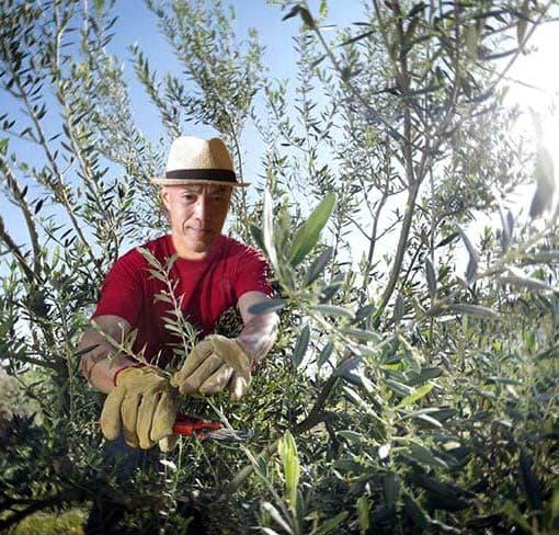 Jackie_pruning_olive_trees