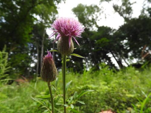 高ボッチ高原・鉢伏山で最近咲いている花 タムラソウ(田村草)