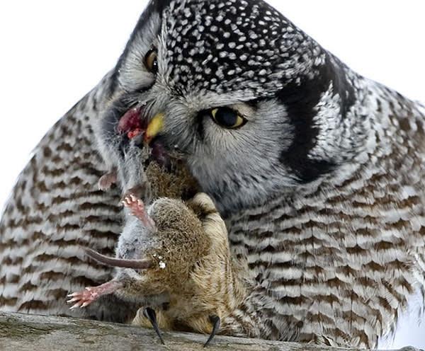 恐るべし肉食、大胆な食べっぷり、オナガフクロウ