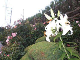 カサブランカ (植物)の画像 p1_24