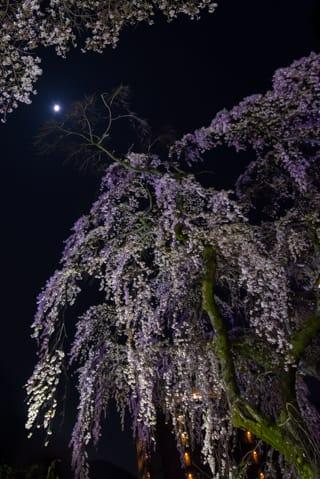 有馬温泉 夜桜茶会