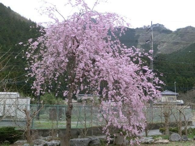 しだれ桜満開
