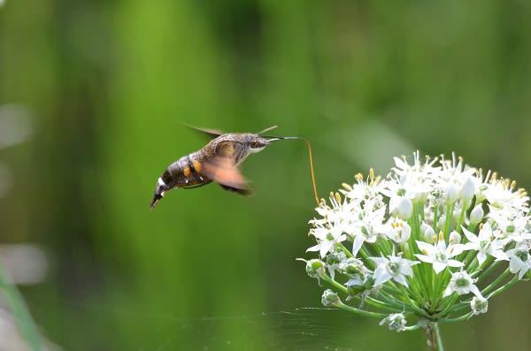 ハチドリの画像 p1_25