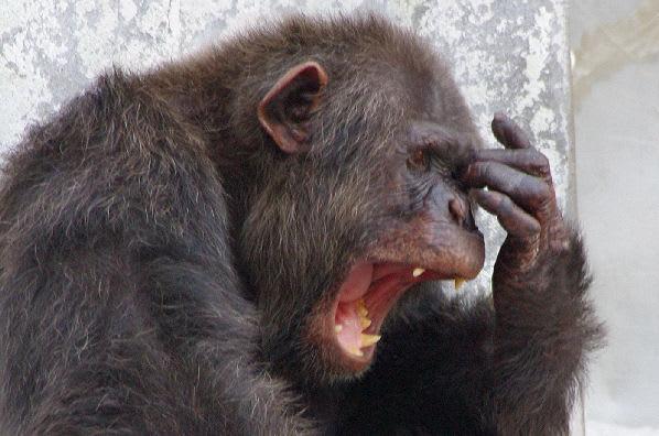 チンパンジーの画像 p1_25