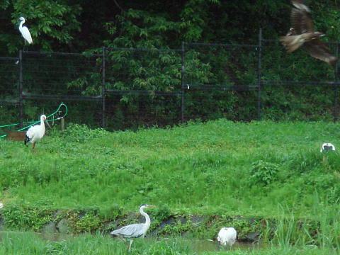 進入の鳶とアオサギ