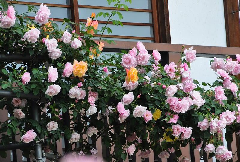 松尾寺のバラ (2)