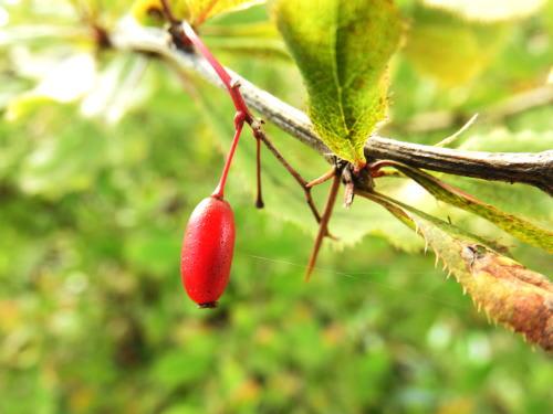 高ボッチ高原・鉢伏山で最近見る事の出来る実・種 アカジクヘビノボラズ(赤軸蛇上らず)