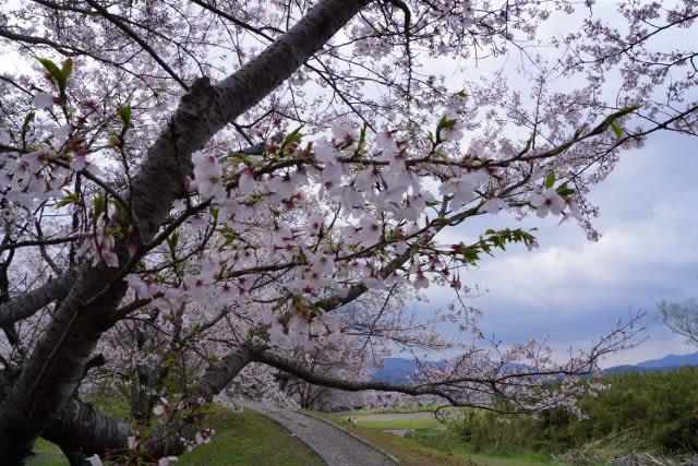 「宮リバー度会パーク」と「宮川」の桜見て来ました〜