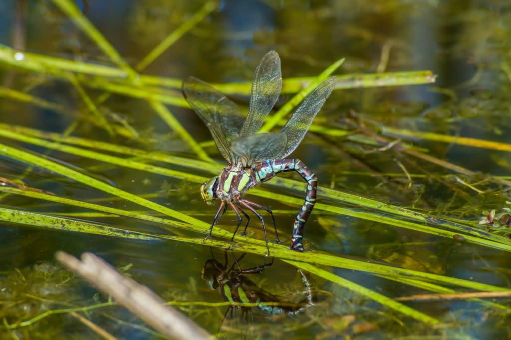 オオルリボシヤンマ青色型メスの産卵写真