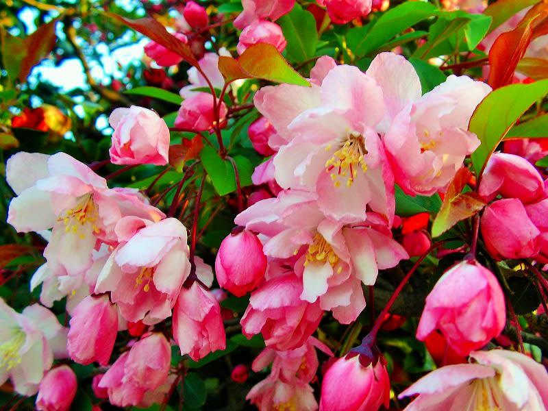 2月25日の誕生日花ハナカイドウの花言葉|誕生 …