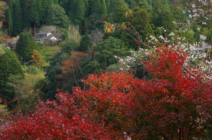 栬と四季桜