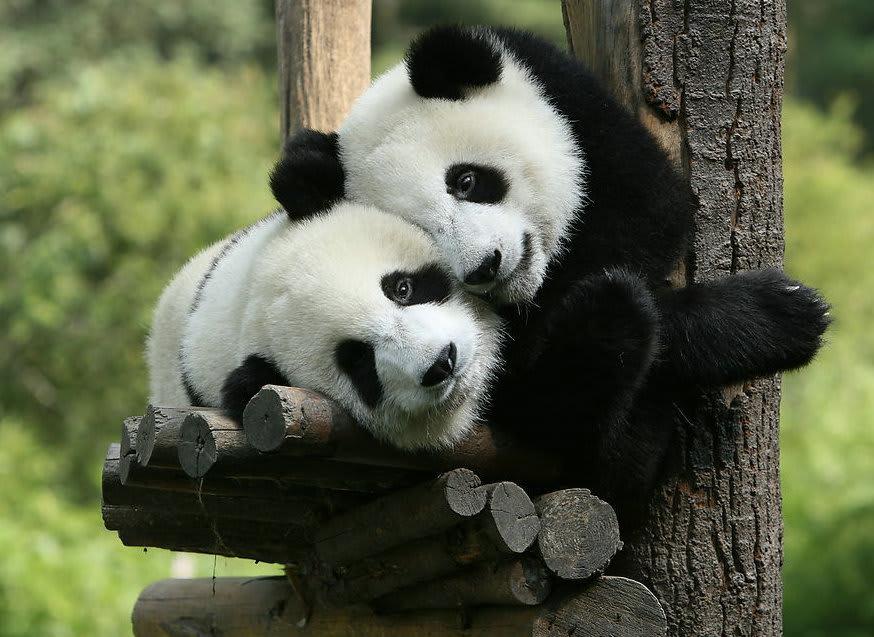 中国の寄り添ってるパンダ