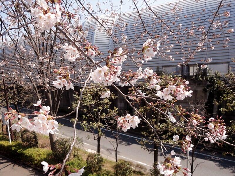04月04日 桜の枝ぶり