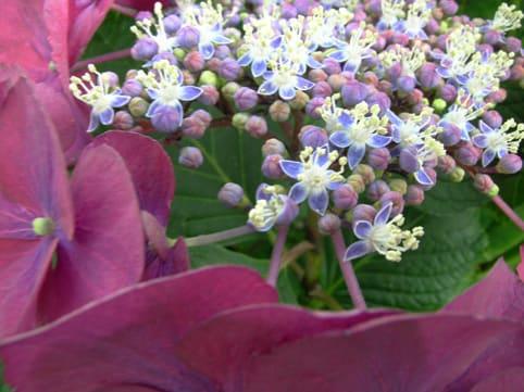 紅額紫陽花
