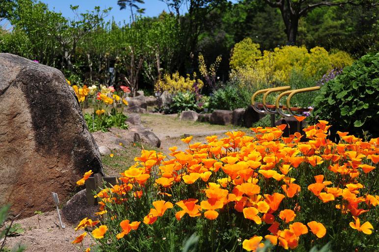 花菱草(カリフォルニアポーピー)'オレンジ、キング' ケシ科 アネモネ...  綺麗な写真 日々