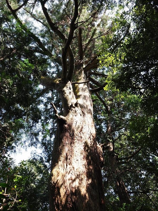 石打八王子神社の杉