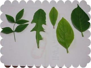 葉っぱを五枚集めました、右から頭文字あかさたなです、クリックで裏の葉です何の葉か解りますか?