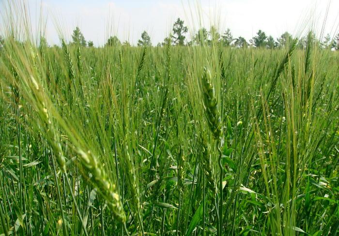 ⑤ 09.6.23 春蒔き小麦のノゲの長い、青麦穂。 ジャンル:写真 ...  撮って置きの日々