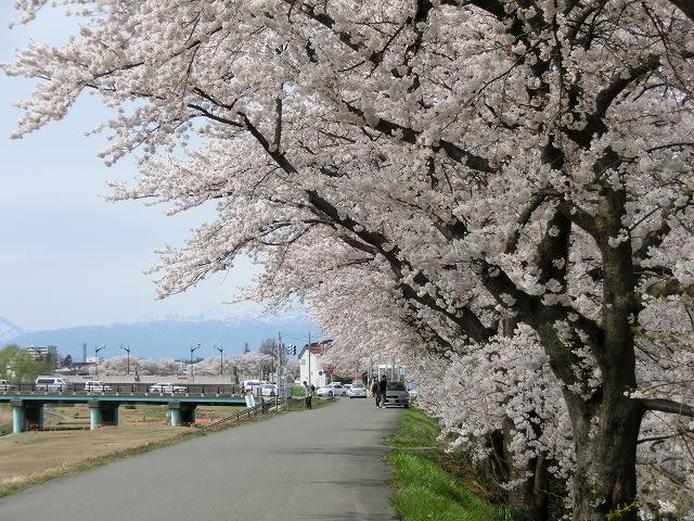 松川右岸の桜並木
