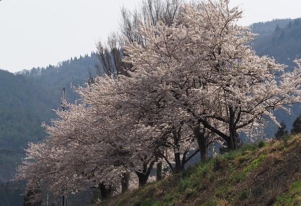 ソメイヨシノ(桜) - さんぽで出会う花鳥風月 ブログ ログイン ランダム 英国民投票、序盤は接