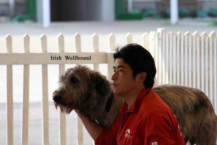 NAVER まとめアイリッシュ・ウルフハウンドの犬可愛いカッコイイ画像集!