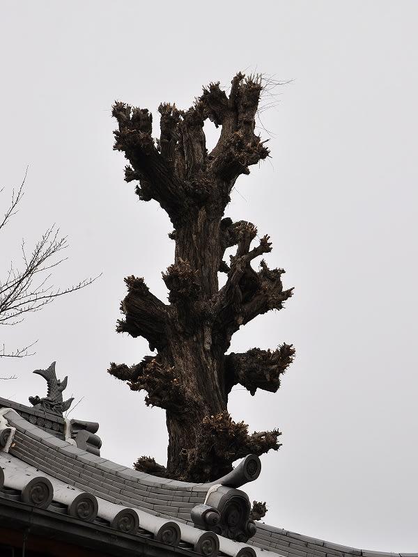 イチョウの巨樹