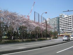 小川町の桜