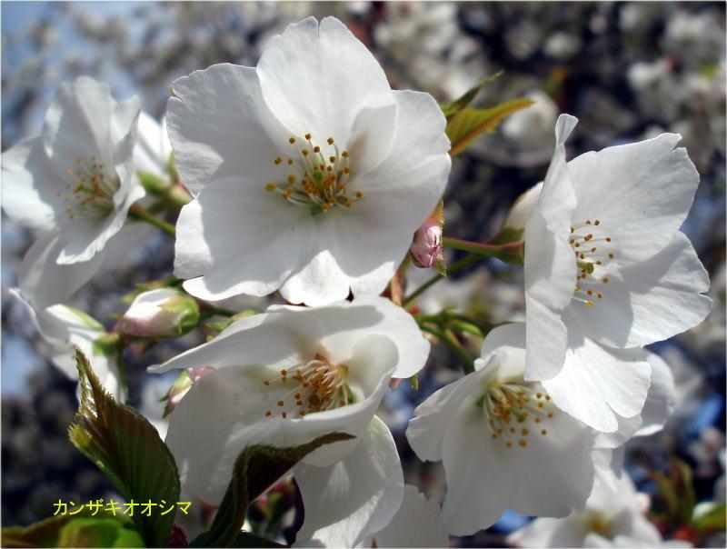 オオシマ桜
