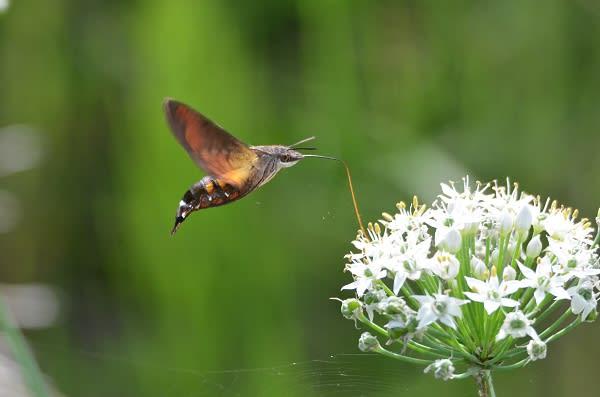 ハチドリの画像 p1_13