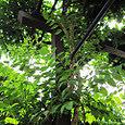 2011-6-4-13 ツル性植物