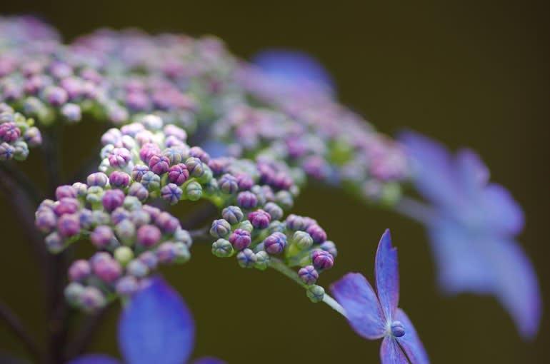 山紫陽花の真花