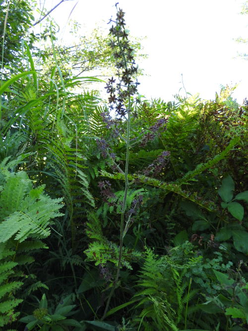 高ボッチ高原・鉢伏山で最近咲いている花 シュロソウ(棕櫚草)