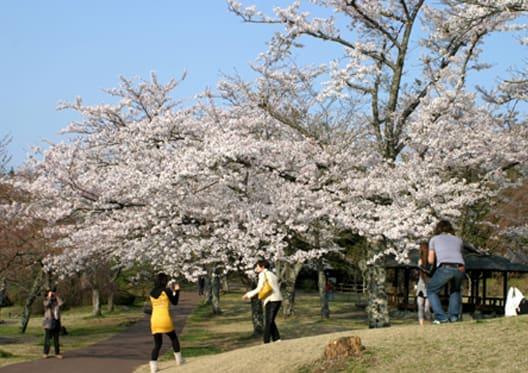 伊豆高原桜まつり・ステージ3