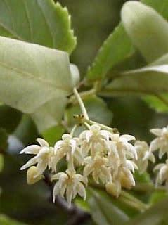 ヘラノキの花