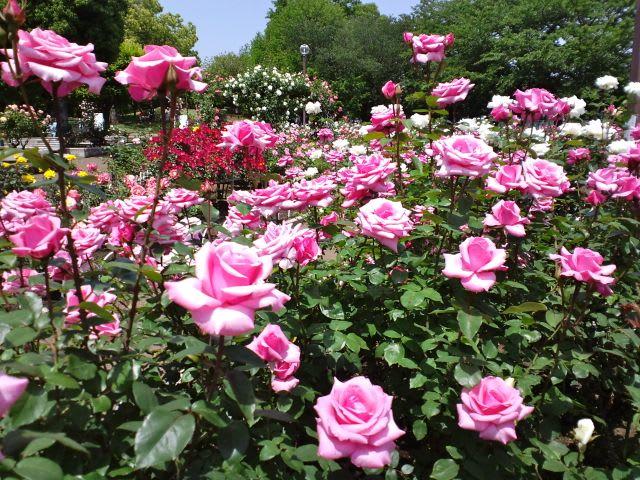 光綾公園でバラが見頃 - あられ ...