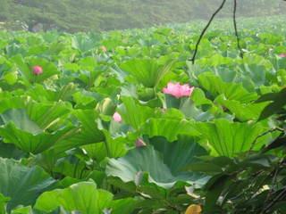 「蓮の花4」