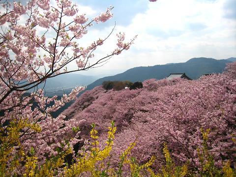 桜の名所 「八百萬神之御殿 ...