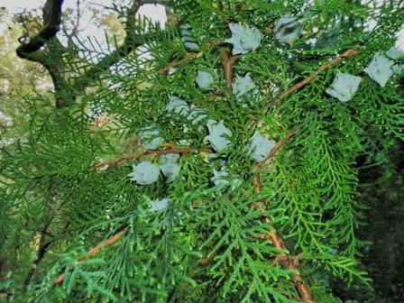 青白い実―コノテガシワ― - 樹木との出会い