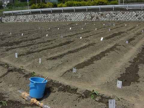植付け後の畑