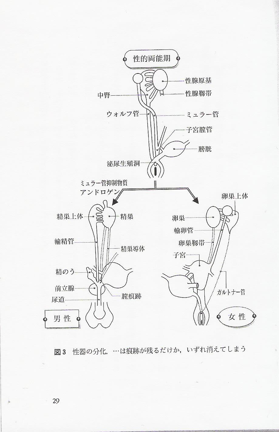 性転換 性器 図3性器の分化 …は痕跡が残るだけか、いずれ消えてしまう