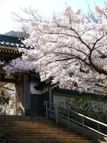 林渓寺の桜