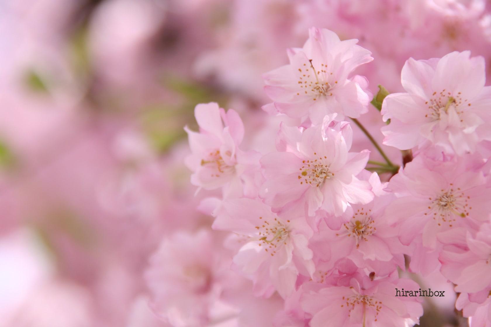 壁紙 桜 チューリップ ひらりん気まま日記