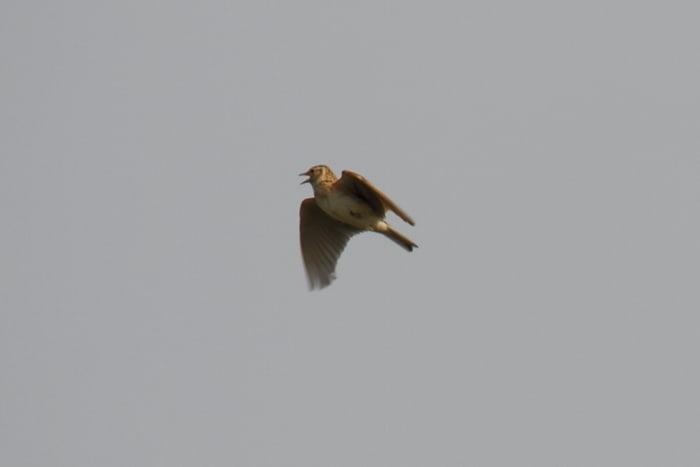 ヒバリの画像 p1_22
