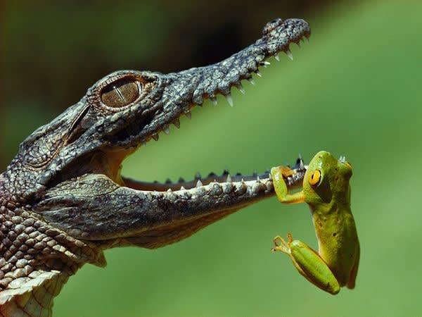 ワニの赤ちゃんにぶらさがるカエル