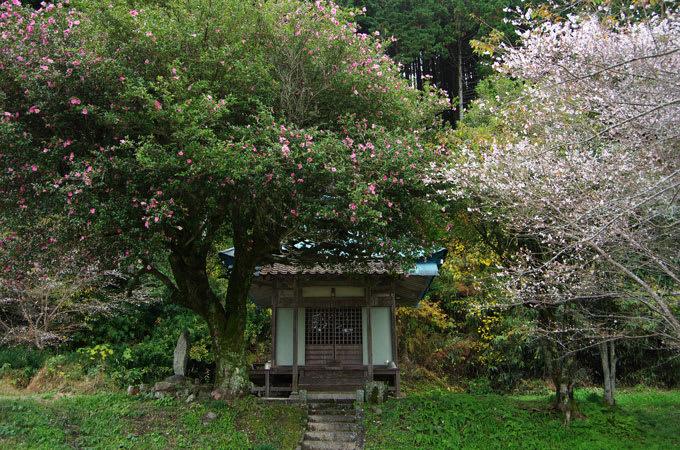 山茶花咲く阿弥陀堂