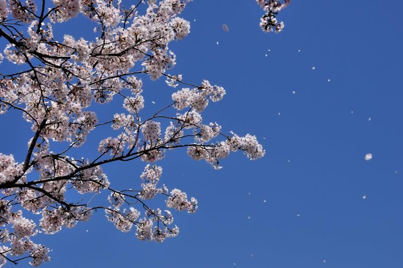 桜吹雪というと、江戸町奉行の遠山金四郎景元をモデルとした、ご存じ遠山の... 観・感・癇
