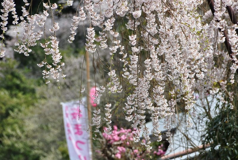室生西光寺の枝垂桜花